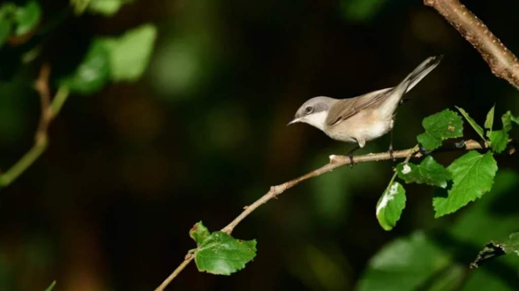 The rarely seen new bird species, Sylvia curruca, is spotted on transit to Hua-Yua in Penghu